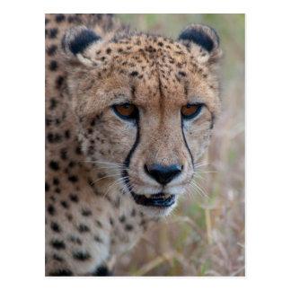 Eye to Eye - Cheetah Postcard