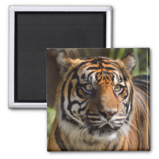 Eyes of a Tiger 2 Inch Square Magnet