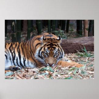 Eyes of the Tiger Print