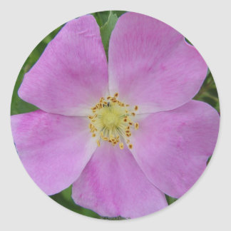 F0011 Prairie Wild Rose (Rosa Arkansana) Classic Round Sticker