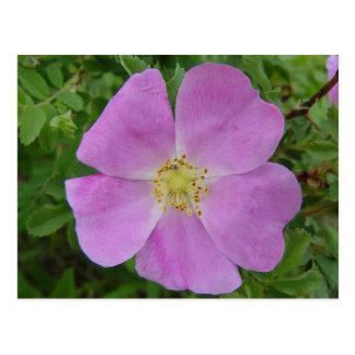 F0011 Prairie Wild Rose (Rosa Arkansana) postcard