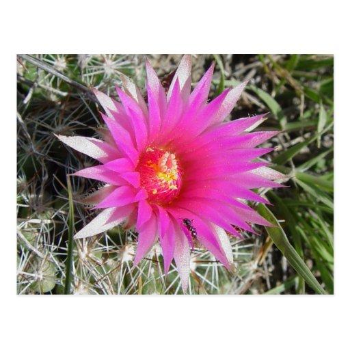 F0012 Ball Cactus Flower postcard