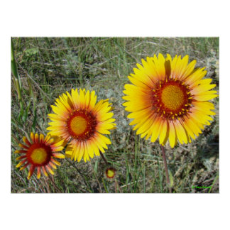 F0017 Yellow Wildflowers Gaillardia Poster
