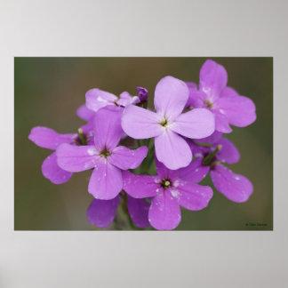 F0019 Purple Wildflowers Dames Rocket Poster