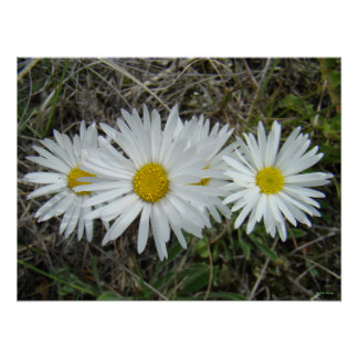 F0042 White Wildflowers Smooth Aster Poster