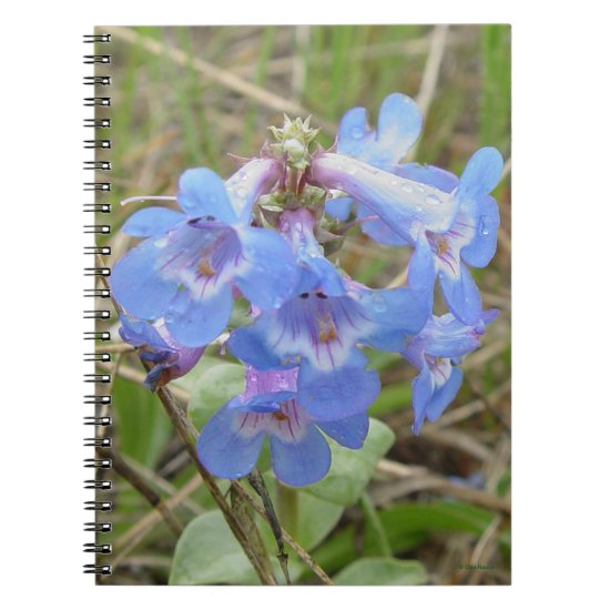 F3 Blue Wildflowers Slender Blue Beardtongue Notebook