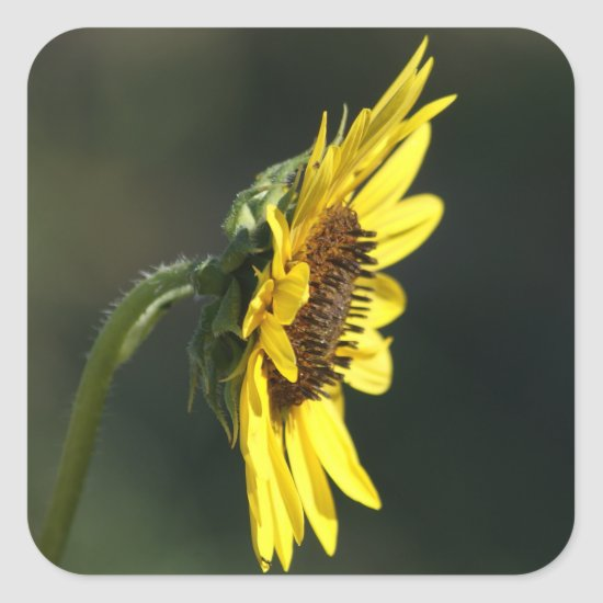 F43 Yellow Wildflower Black-eyed Susan Square Sticker