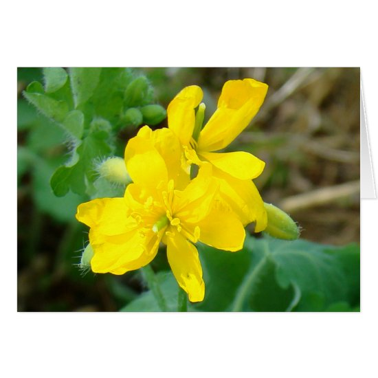 F44 Yellow Wildflowers Wild Mustard