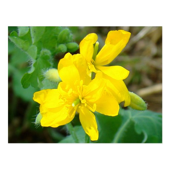 F44 Yellow Wildflowers Wild Mustard Postcard
