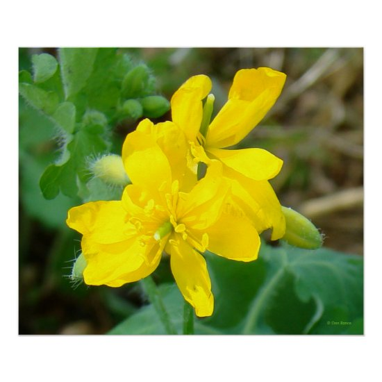 F44 Yellow Wildflowers Wild Mustard Poster