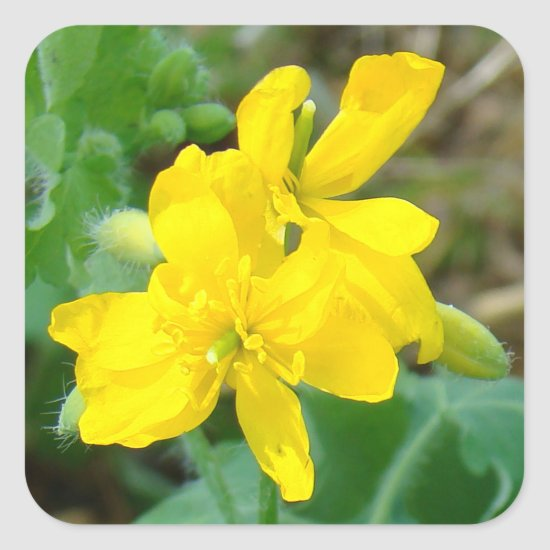 F44 Yellow Wildflowers Wild Mustard Square Sticker