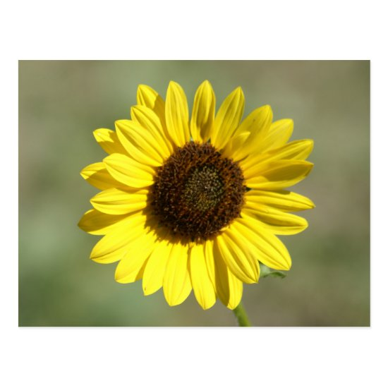 F47 Yellow Wildflower Common Annual Sunflower Postcard