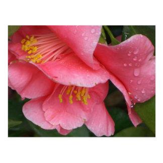 FA- Pink camelia flower postcard