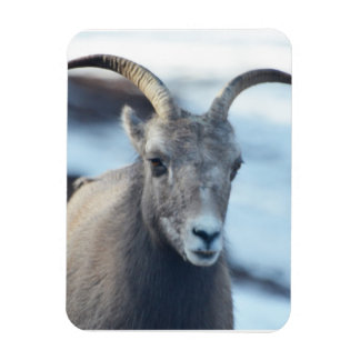 Face of a Bighorn Sheep Magnet