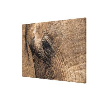 Face of an Elephant Canvas Print