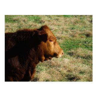 Face of Brown bull cow Postcard