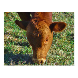 Face of Little Brown Cow Postcard