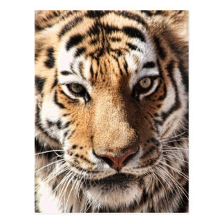 Face Of The Tiger Postcards