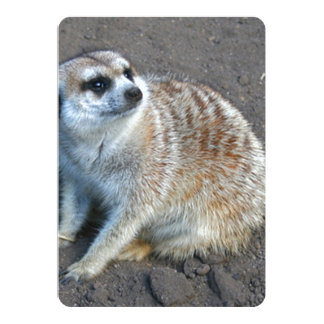 Faintly Striped Meerkat Holds His Ground Card