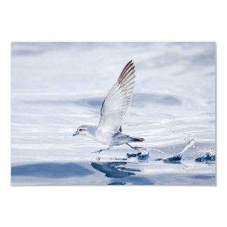 Fairy Prion Pachyptila Turtur Sea Bird Running 3.5x5 Paper Invitation Card