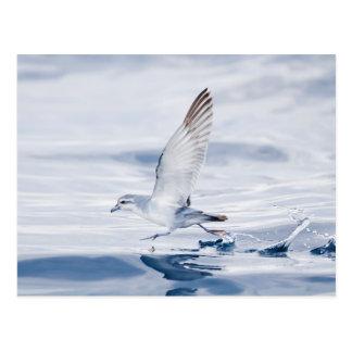 Fairy Prion Pachyptila Turtur Sea Bird Running Postcard