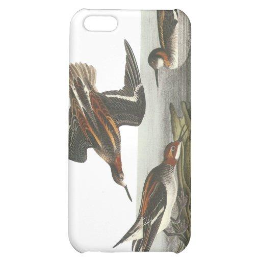 Falaropo de cuello rojo, Juan Audubon