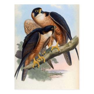 Falco Peregrinator (Shaheen Falcon) Postcard