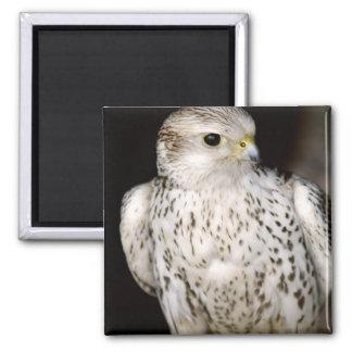 Falcon 2 Inch Square Magnet