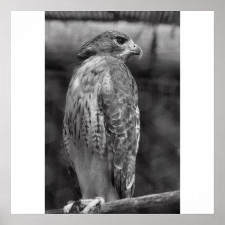 Falcon  B/W Print