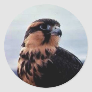 Falcon, northern aplomado (B06V) Round Sticker