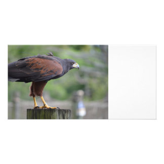 falcon on post raptor bird image photo card