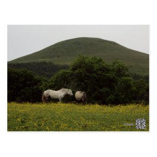 Falkland Horses Postcard