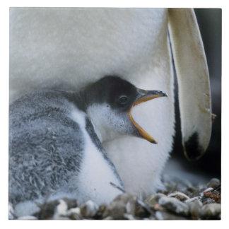 Falkland Islands. Gentoo penguin chick next to Ceramic Tile