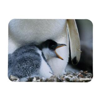 Falkland Islands. Gentoo penguin chick next to Magnet