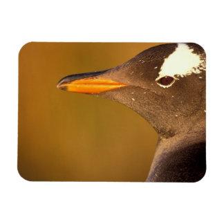 Falkland Islands. Gentoo Penguins. (Pyroscelis Magnet