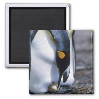 Falkland Islands. King penguin tends single egg. Magnet