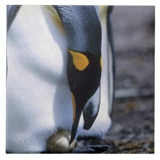 Falkland Islands. King penguin tends single egg. Tile