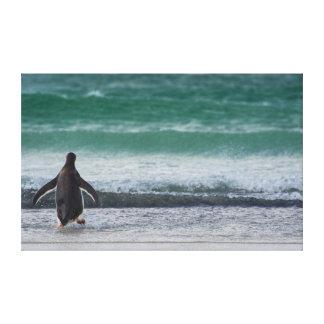 Falkland Islands. Saunders Island. Gentoo 1 Canvas Print