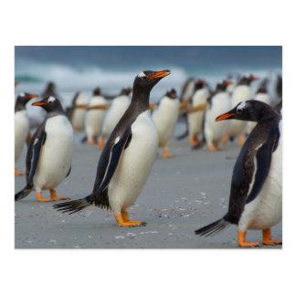 Falkland Islands. Saunders Island. Gentoo 2 Postcard