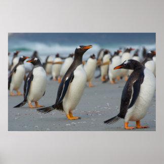 Falkland Islands. Saunders Island. Gentoo 2 Poster
