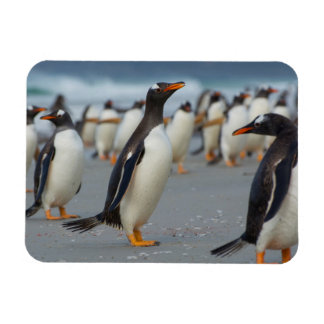 Falkland Islands. Saunders Island. Gentoo 2 Rectangular Photo Magnet