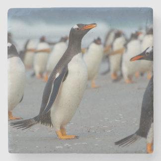 Falkland Islands. Saunders Island. Gentoo 2 Stone Coaster