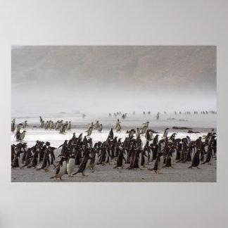 Falkland Islands. Saunders Island. Gentoo 3 Poster