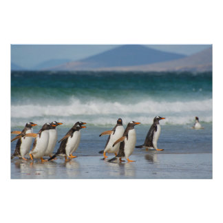 Falkland Islands. Saunders Island. Gentoo 4 Poster