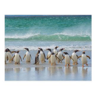 Falkland Islands. Saunders Island. Gentoo 5 Postcard