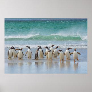 Falkland Islands. Saunders Island. Gentoo 5 Poster