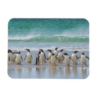 Falkland Islands. Saunders Island. Gentoo 5 Rectangular Photo Magnet