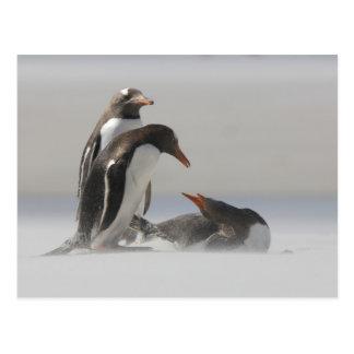 Falkland Islands, Saunders Island. Gentoo Postcard