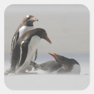 Falkland Islands, Saunders Island. Gentoo Square Sticker
