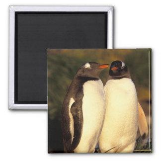 Falklands Islands. Gentoo Penguins.  (Pyroscelis Magnet